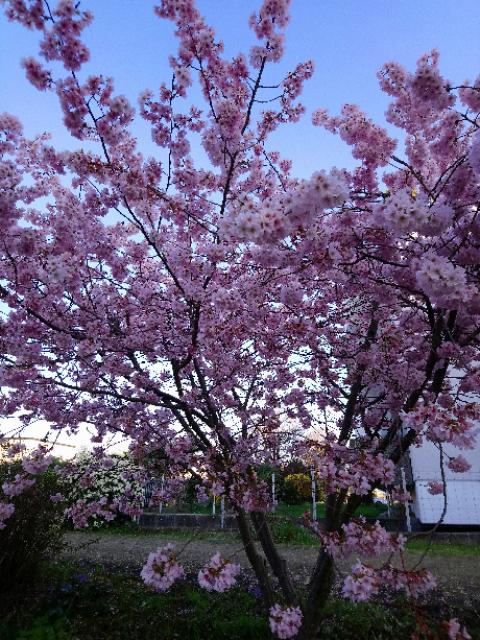 スイスでも桜が開花して、春らしく