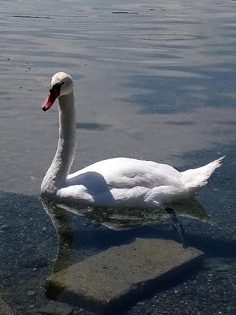 白鳥に注意